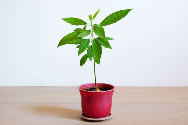 little-avocado-tree-in-a-flower-pot-on-the-white-royalty-free-image-1017111146-1548701770.jpg