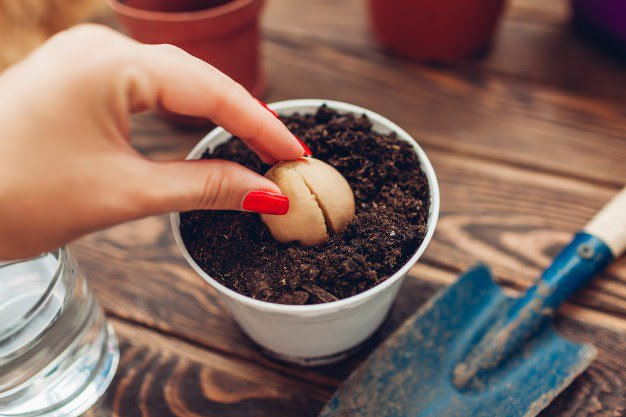 woman-gardener-transplanting-avocado-seed-with-root-growing-pot-with-soil_106029-455.jpg